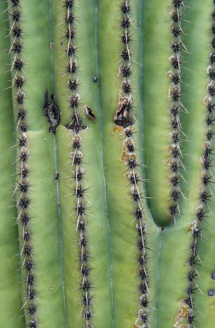Saguaro (Close-Up)