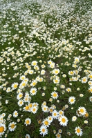 Daisies at Blanco