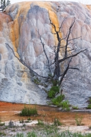 Mammoth Hot Springs Tree