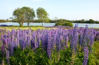 Field of Lupines I